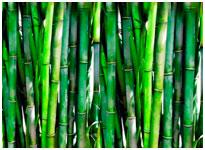 бамбук в оздоровление